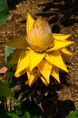 Ensete lasiocarpum Cheesman, Musaceae