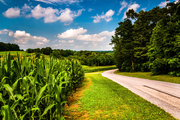 Cornfield along country road in Southern York County, Pennsylvan