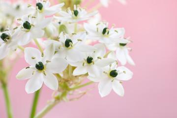 Arabian star flower (ornithogalum arabicum)