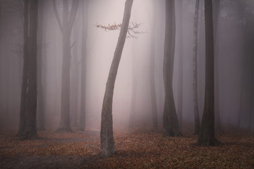 Dark tree in the mist in a spooky forest