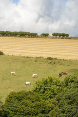 horses  on  green hilly pasture , Cornwall
