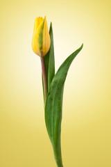 einzelne Tulpe gelb mit gelbem hintergrund