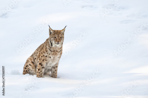 Canvas Lynx Lynx in the snow background while looking at you