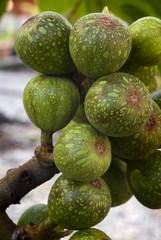 fruits of sycamore fig (Ficus sycomorus)