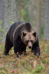 Male brown bear in forest