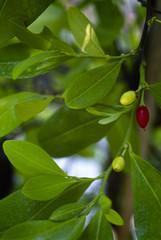 Coca plant (Erythroxylum coca)