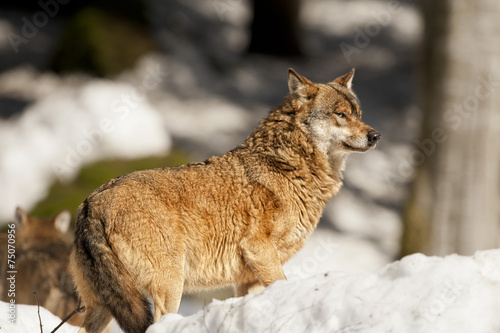 In de dag Wolf group of Grey wolf on the snow background