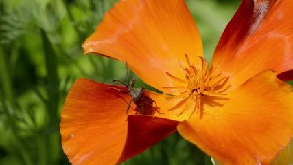 Wanze auf Blume