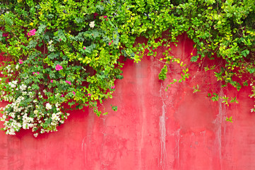 Flowers & green ivy plant on old colored concrete wall
