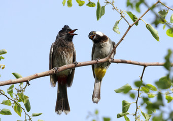 A red vented and a white cheeked bulbul perched on a tree