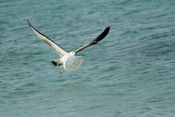 Herring seagull carrying plastic plate