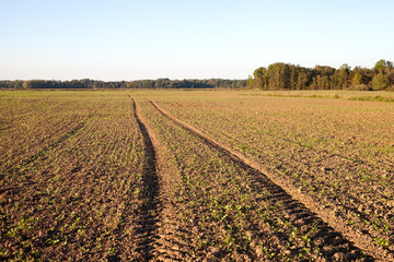 Fresh canola field.