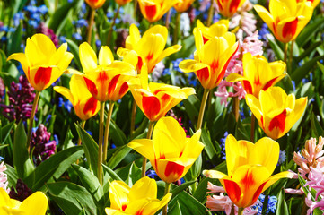 Spring yellow-red tulips and pink hyacinths close-up.