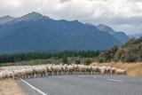 New Zeland sheeps