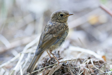 Young Robin (Erithacus rubecula).Wild bird in a natural habitat.