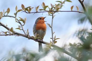Robin (Erithacus rubecula).Wild bird in a natural habitat.