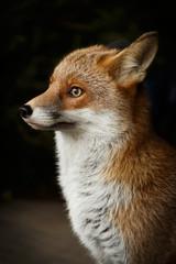Fuchs mißtrauisch