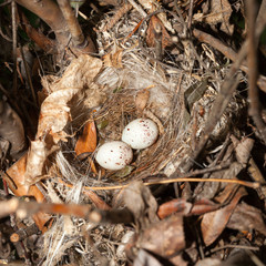 Nest of European Greenfinch (Carduelis chloris)