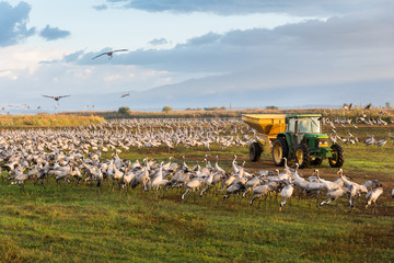 Common cranes with feeding tractor at Agamon Hula