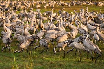 Common cranes at Agamon Hula