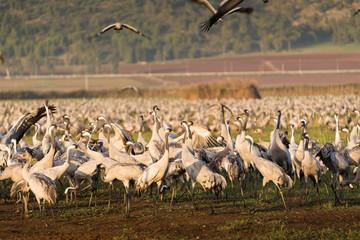 Eurasian cranes at Agamon Hula
