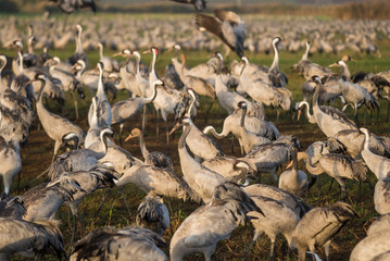 Common cranes closeup at Agamon Hula