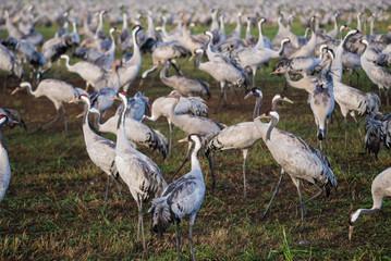 Common cranes closeup at Agamon Hula