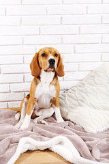 Beagle dog on wall background