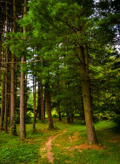 Trail through pine trees in York County, Pennsylvania.