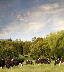 Dairy cows grazing in paddock, New Zealand