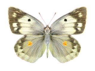 Butterfly Colias aurorina (female)