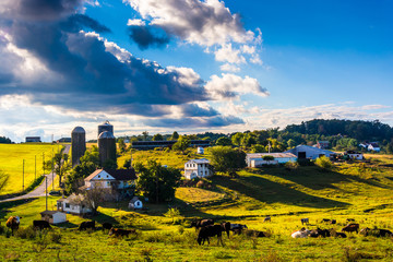 View of cows on a farm in the rolling hills of rural York County