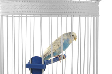 Cute blue budgie in cage on white background