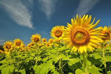 sunflower with day light and blue sky background