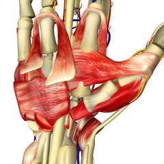 Palm muscles