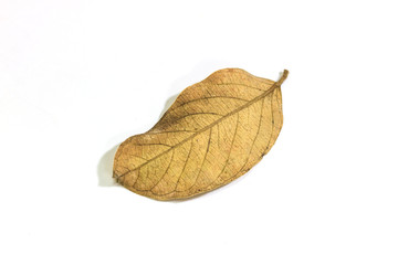 dry leaf  on the white background