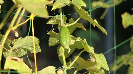 prickly cucumber on a branch