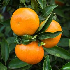 Mandarinas en el Arbol