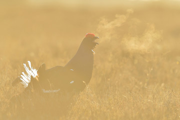 Black Grouse calling in contra light