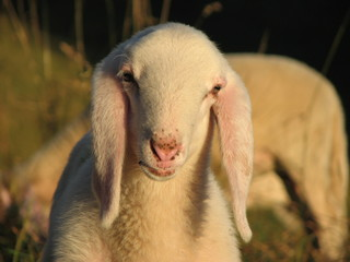 young white lamb in a flock