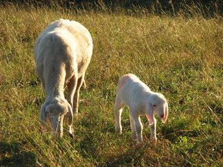 Young Lamb with sheep mother grazing