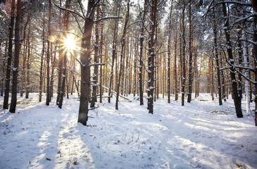 Evening winter forest. Beautiful winter forest with sunrise