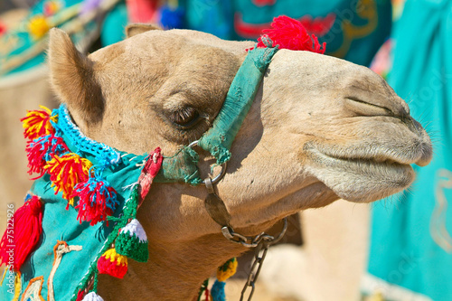 Staande foto Kameel Egypt - Camel in the desert-Aswan