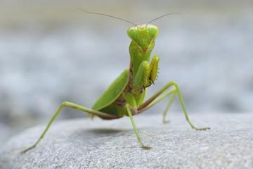 Mantis on the stone