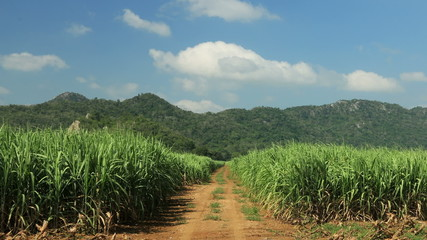 sugar cane field, Cloud running background, time lapse clip.
