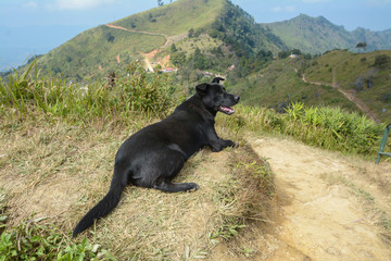 black dog on Mountain  ,Pha Tung Mountain , Chiang Rai , Thailan