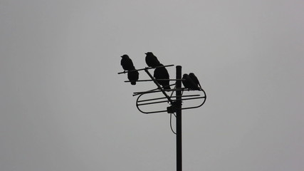 Crows on the antenna, different colors