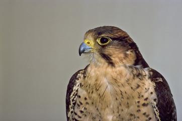falco lanario (Falco biarmicus) ritratto