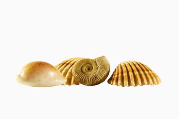 Muscheln und der Ammonit