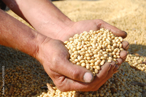 Full hands of soybeans